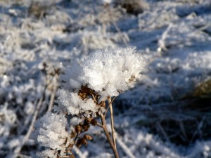 frost-on-plants-5